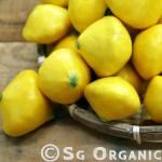 Organic summer squash