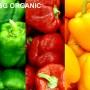 Rainbow capsicum