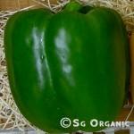 capsicum green_sgo