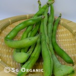 broad beans_sgo